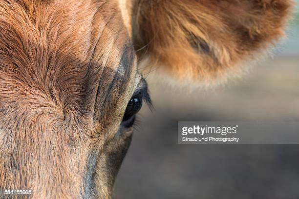Soft eyes of a cow