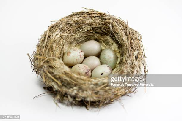 Soft fluffy dry nest with six small eggs inside