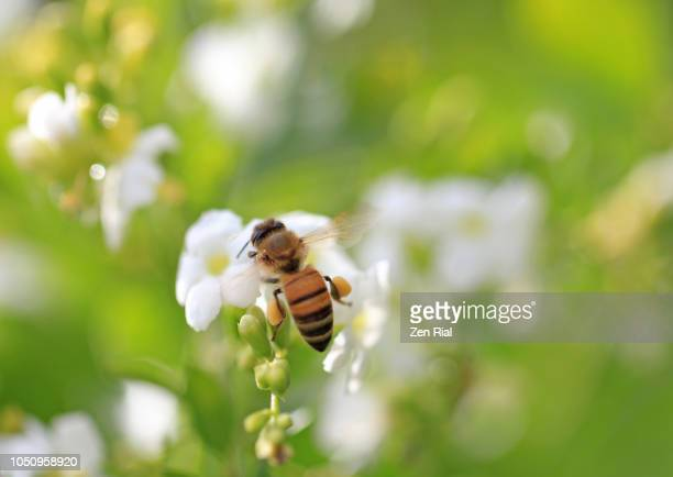 soft focus image of a single honeybee on white flowers called duranta erecta - interesse humano - fotografias e filmes do acervo