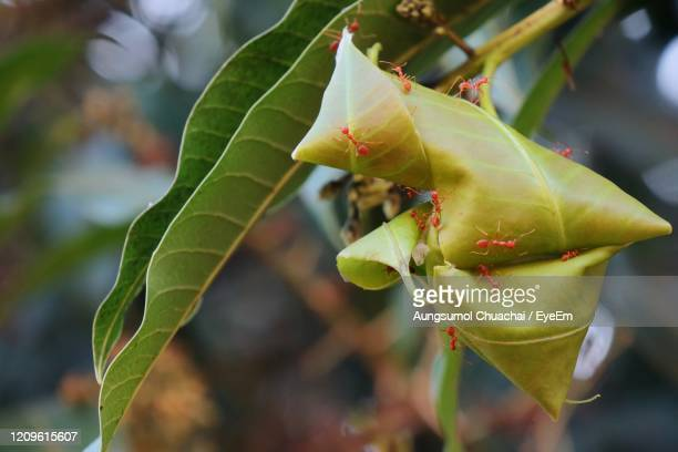 soft focus of red ants nest with green leaves on the mango tree. animal and wildlife concept. - aungsumol stock pictures, royalty-free photos & images