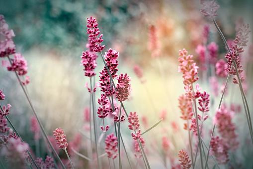 Soft focus on lavender flowers 537688636