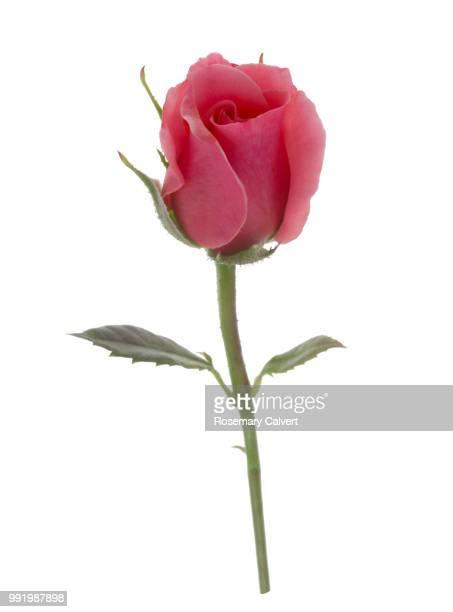 Soft, fragrant, pink rose bud on white.