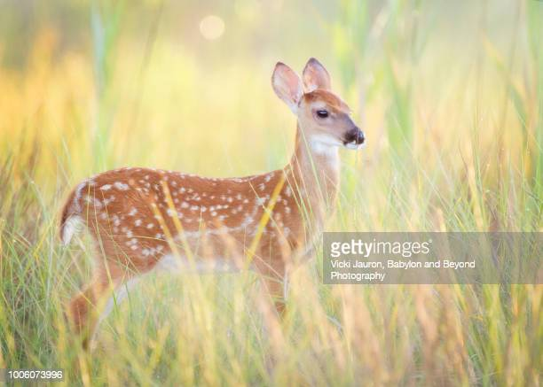 soft grass and beautiful white tailed fawn at robert moses state park - cerbiatto foto e immagini stock