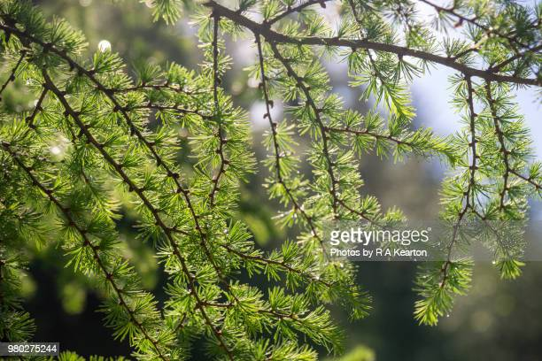 Soft green Larch foliage in morning sunlight