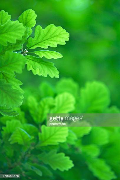 soft green oak leaves