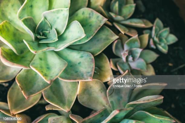 Soft green succulent roses