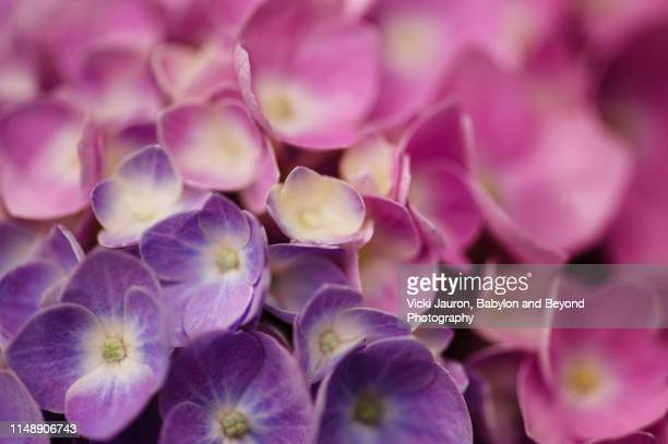 soft lavender against pink close up of hydrangea petals - lavender plant stock pictures, royalty-free photos & images