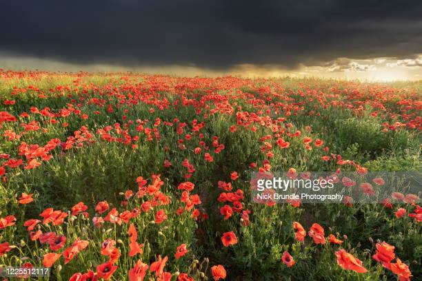 soft light - remembrance day stock pictures, royalty-free photos & images