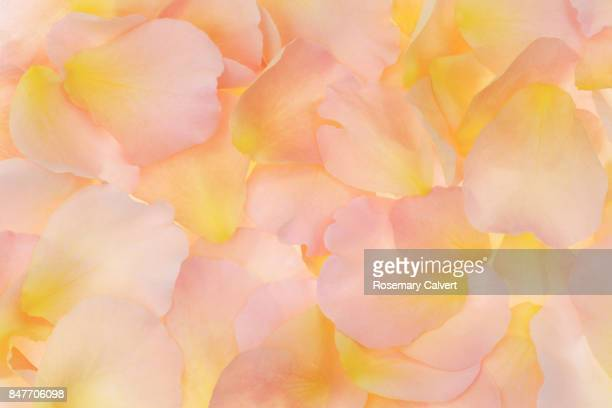soft, peachy, fragrant rose petals filling frame. - peach colour stock pictures, royalty-free photos & images