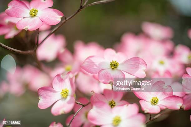 Soft Pink Pastel Dogwood