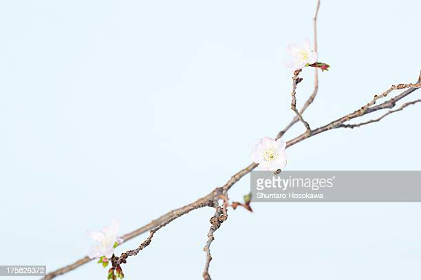 Soft pink rosehip blossoms on branch