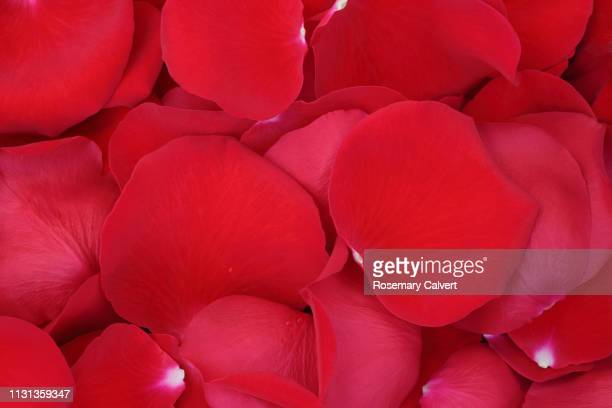 5 508 Red Roses Background Photos And Premium High Res Pictures Getty Images