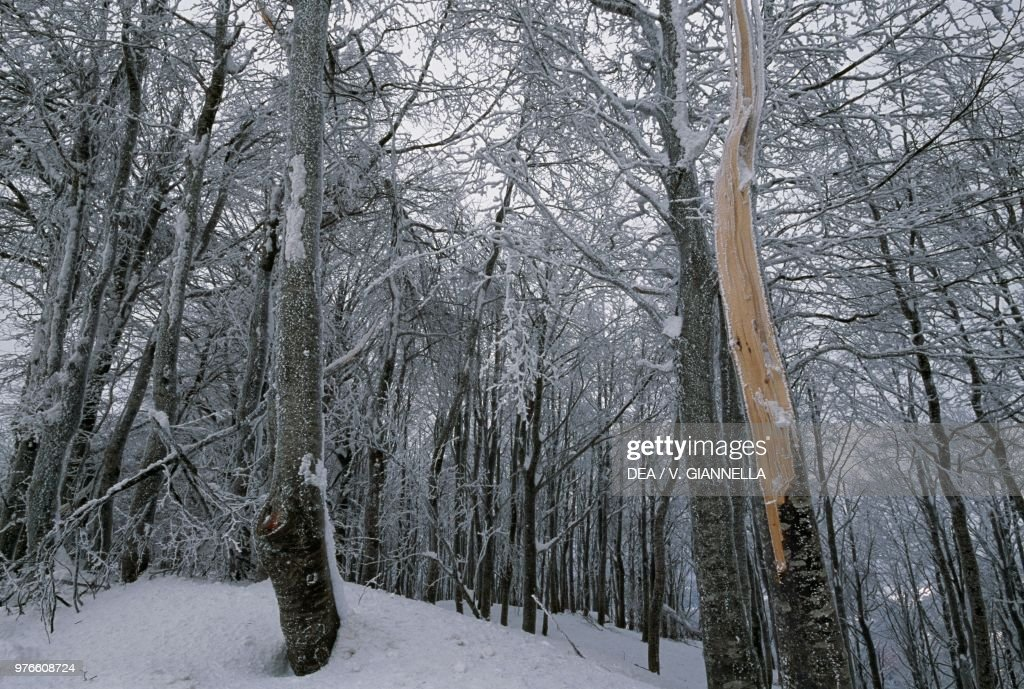 Soft rime on trees in a beech forest : News Photo