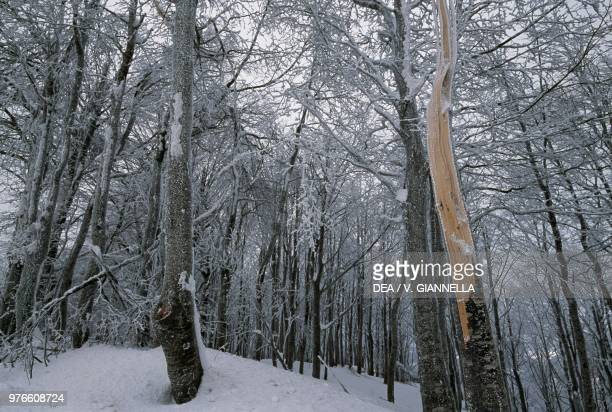 Soft rime on trees in a beech forest