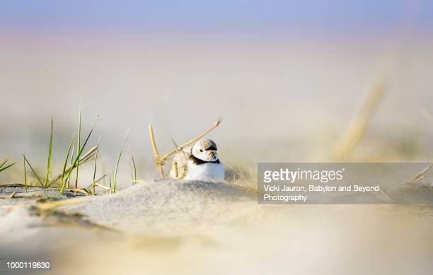 soft sand and piping plover adult at jones beach, long island - wader bird stock photos and pictures