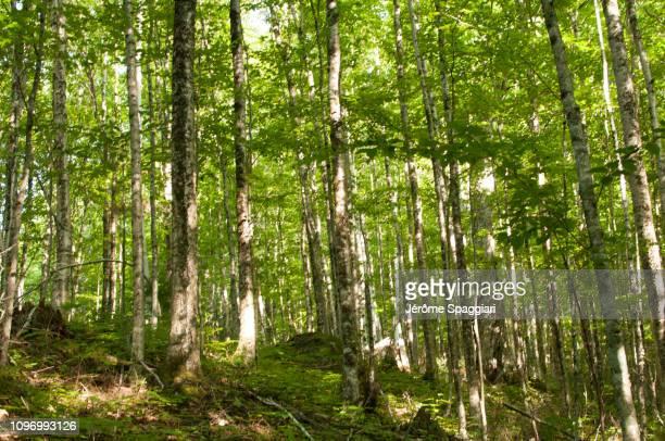 soft summer light in a deciduous forest understory - foresta temperata foto e immagini stock