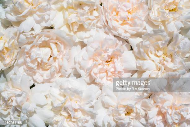 soft summer roses - backgrounds stock pictures, royalty-free photos & images