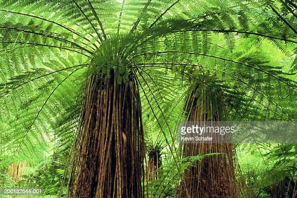 Soft tree fern (Cyathea smithii) forest, low angle view