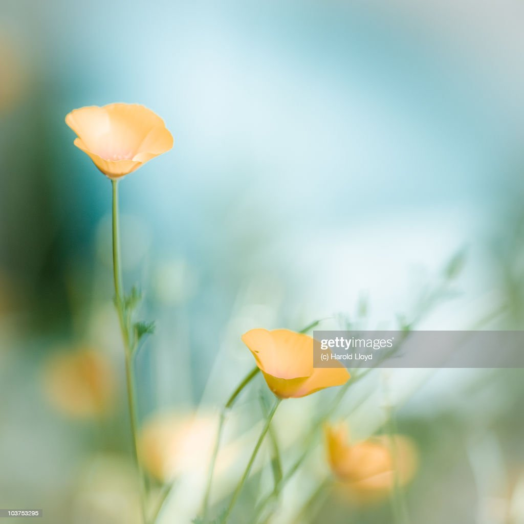 Soft Yellow Flowers In Blue Light Stock Photo Getty Images