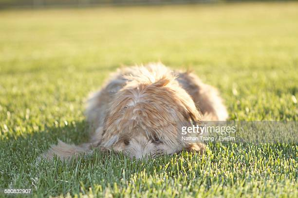 soft-coated wheaten terrier dog relaxing on grassy field - soft coated wheaten terrier stock photos and pictures