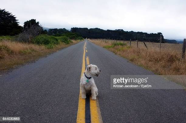 soft-coated wheaten terrier on road against sky - soft coated wheaten terrier stock photos and pictures