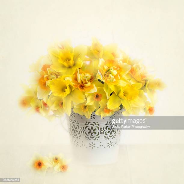 a soft-focus image of spring daffodils or daffs in a small metal container - narcissus mythological character stock photos and pictures