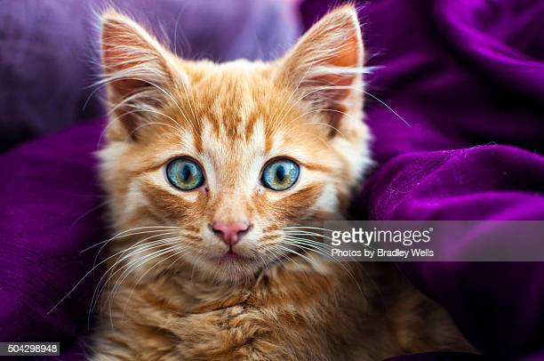softness - norwegian forest cat stock photos and pictures