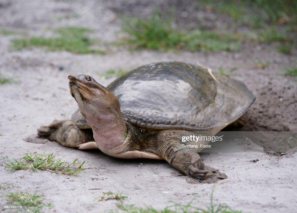 Softshell Turtle : Stock Photo