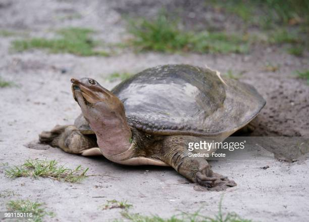 softshell turtle - svetlana stock photos and pictures