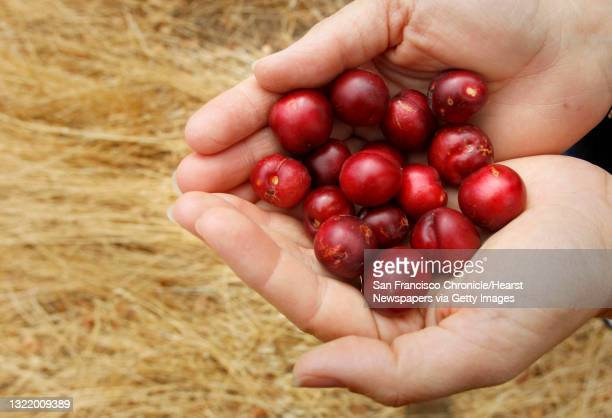 Solano Land Trust executive director, Nicole Byrd, with a handful of Holly-leafed cherries, found inside the open space, on Wednesday September 5 in...