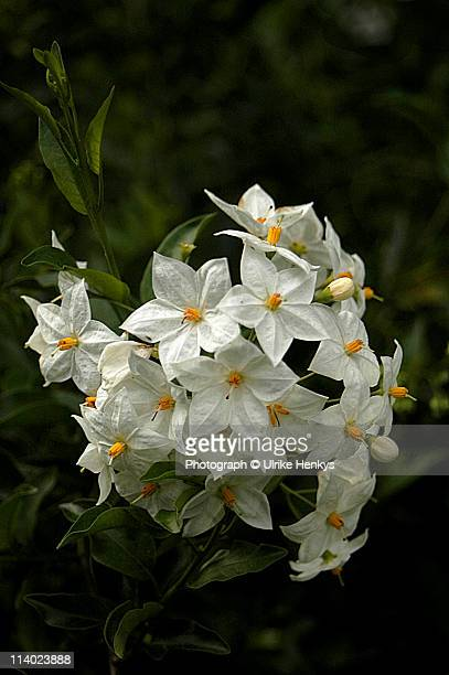 solanum jasmin - jasmine stock photos and pictures