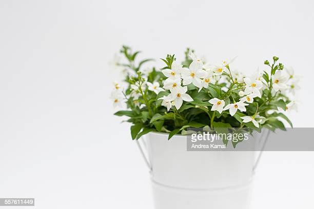 Solanum laxum / Jasmine nightshade