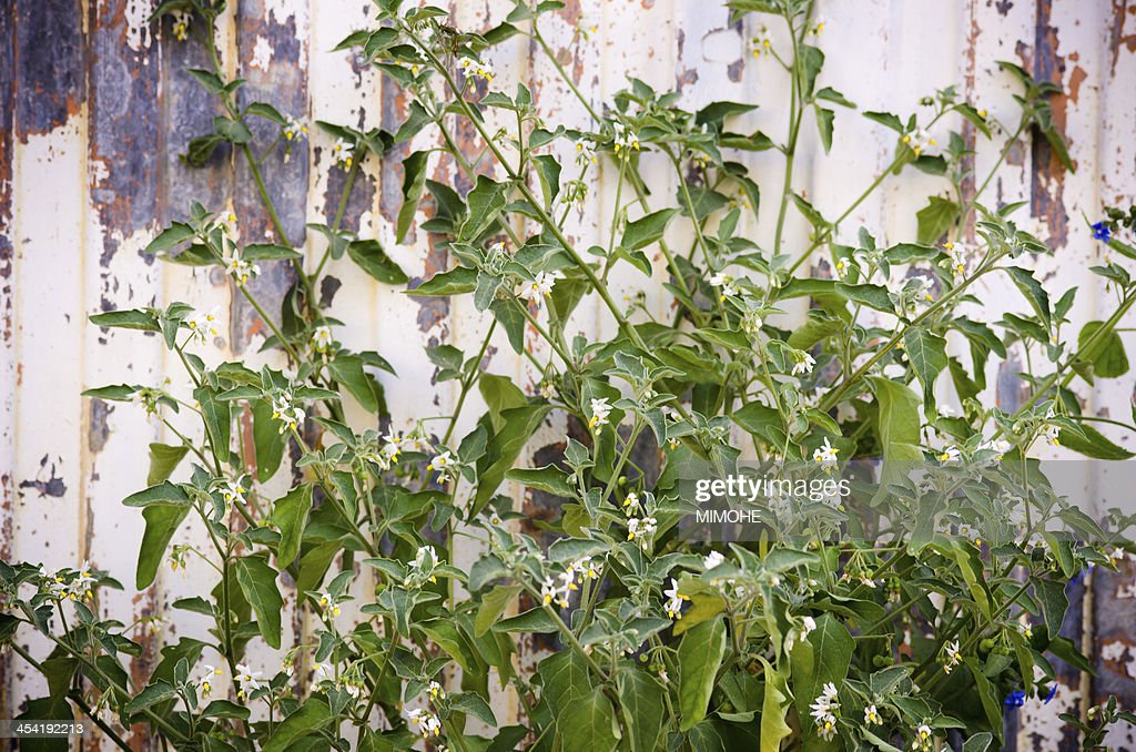 Solanum Nigrum : Stock Photo