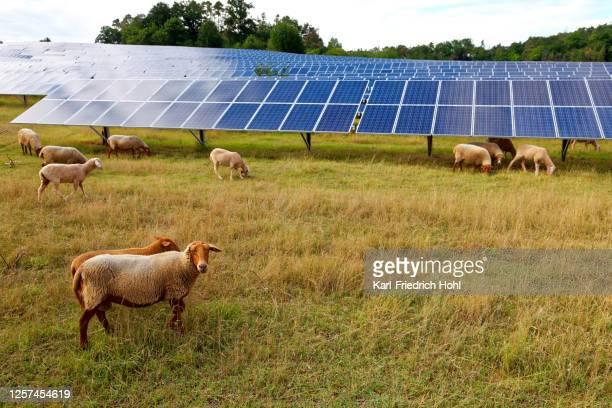 zonne-energiecentrale met schapen - industriële apparatuur stockfoto's en -beelden