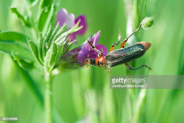 soldier beetle (cantharidae) dusted with pollen crawling on purple flower, aphid hiding on leaf - aphid stock pictures, royalty-free photos & images