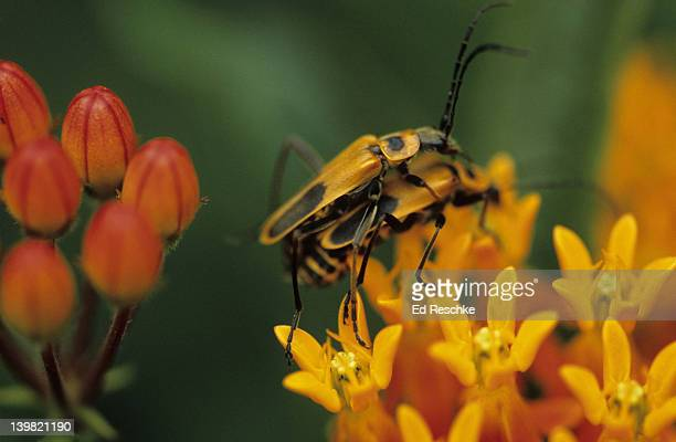 soldier beetles mating on butterfly milkweed, chauliognathus pennsylvanicus (pennsylvania soldier beetle). ubiquitous, may subsist on pollen, larvae are predaceous and useful in a garden. michigan - tierpaarung stock-fotos und bilder