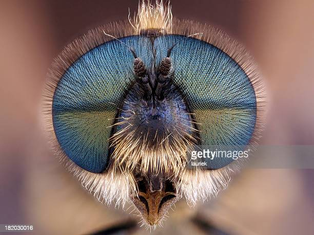 soldier fly (stratiomyidae) - insect stock pictures, royalty-free photos & images
