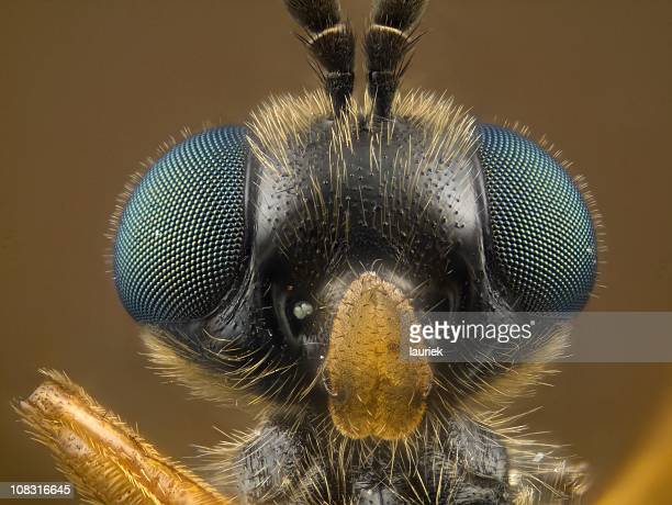 soldier fly [stratiomyidae] - bug eyes stock photos and pictures