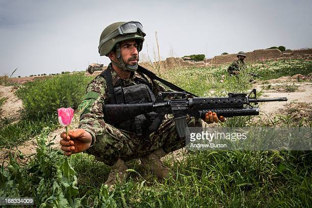 A soldier in the Afghan National Army's 6th Kandak 3rd company picks a poppy flower during a joint patrol with the US Army's 1st Battalion 36th...
