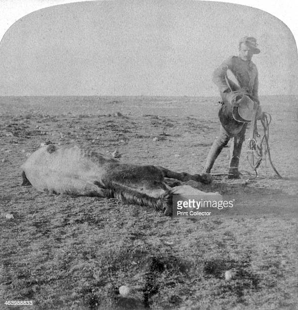 Soldier leaving his dead horse on the march to Bloemfontein, South Africa, Boer War, 1901. Stereoscopic card.
