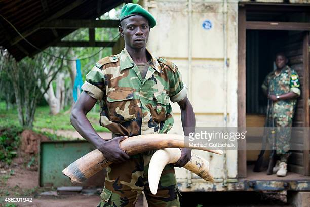 Bayanga Central African Republic March 16 A soldier of the EcoGuards of the WWF project shows ivory tusks of wild elephants which were confiscated...