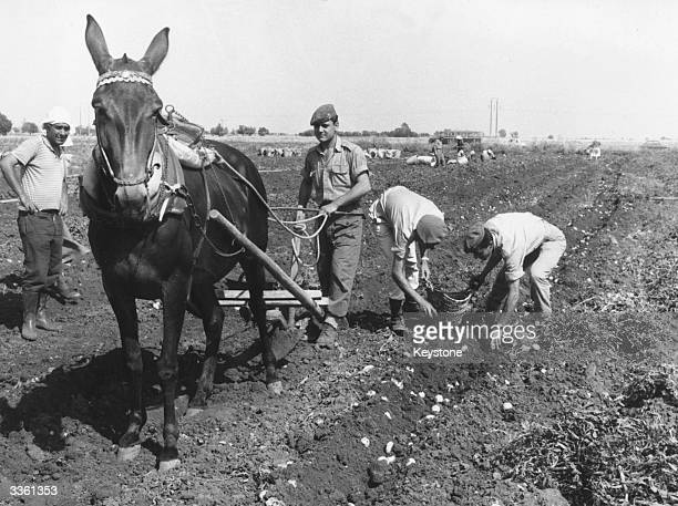 A soldier using a horsedrawn plough to harvest potatos in Cyprus