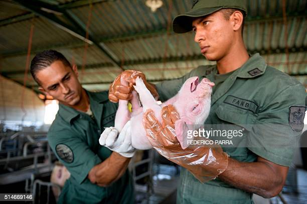 Soldiers of the Bolivarian National Armed Forces castrate a piglet in an industrial piggery in the military base of Maracay Venezuela on March 8 2016...