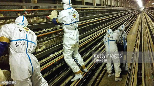Soldiers of the Ground SelfDefense Force remove chickens from cages at a chicken farm in Sekikawa Niigata prefecture on December 1 2016 Japan...