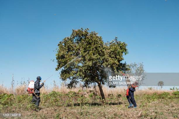 Soldiers of the Uganda Peoples Defence Forces spray trees where the locust swarms will land with insecticides with the hopes of killing the locusts...