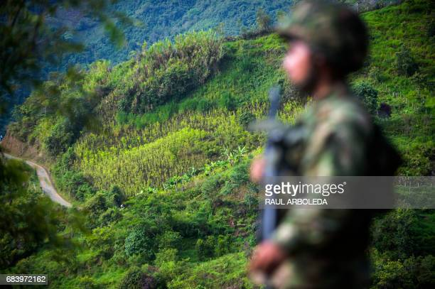 TOPSHOT A soldiers stands guard in a coca field in Pueblo Nuevo in the municipality of Briceno Antioquia Department Colombia on May 15 2017 The...