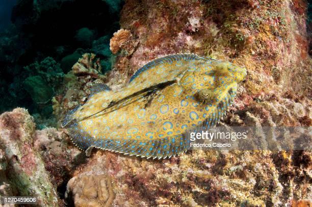 sole fish, klein bonaire - フラットフィッシュ ストックフォトと画像