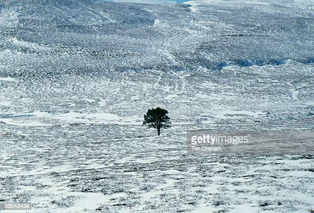 Sole pine tree in a snow covered field in the Cairngorms, Scotland, United Kingdom.