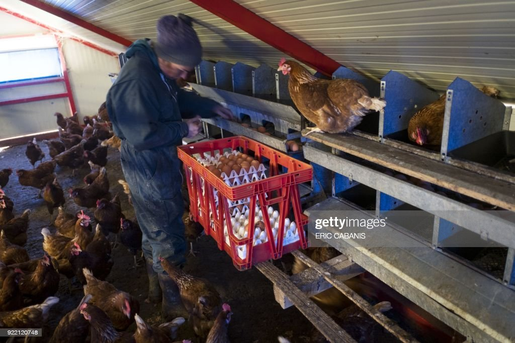 Solenn Guillaume, a young livestock farmer who moved to Fanjeaux (Aude) in the 'natural region' of Piege five years ago with her companion, collects eggs in a chicken coop on their farm in Fanjeaux on February 20, 2018. The region is considered a 'disadvantaged area', giving it entitlement to substantial aid through the government's 'Compensatory Allowance for Natural Handicap' program (Indemnite compensatoire de handicaps naturels, ICHN). The map of disadvantaged areas is currently being revised and Fanjeaux may be part of the 1,4000 communes removed from the list of disadvantaged areas. /
