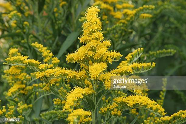 solidago goldenrod - goldenrod stock pictures, royalty-free photos & images